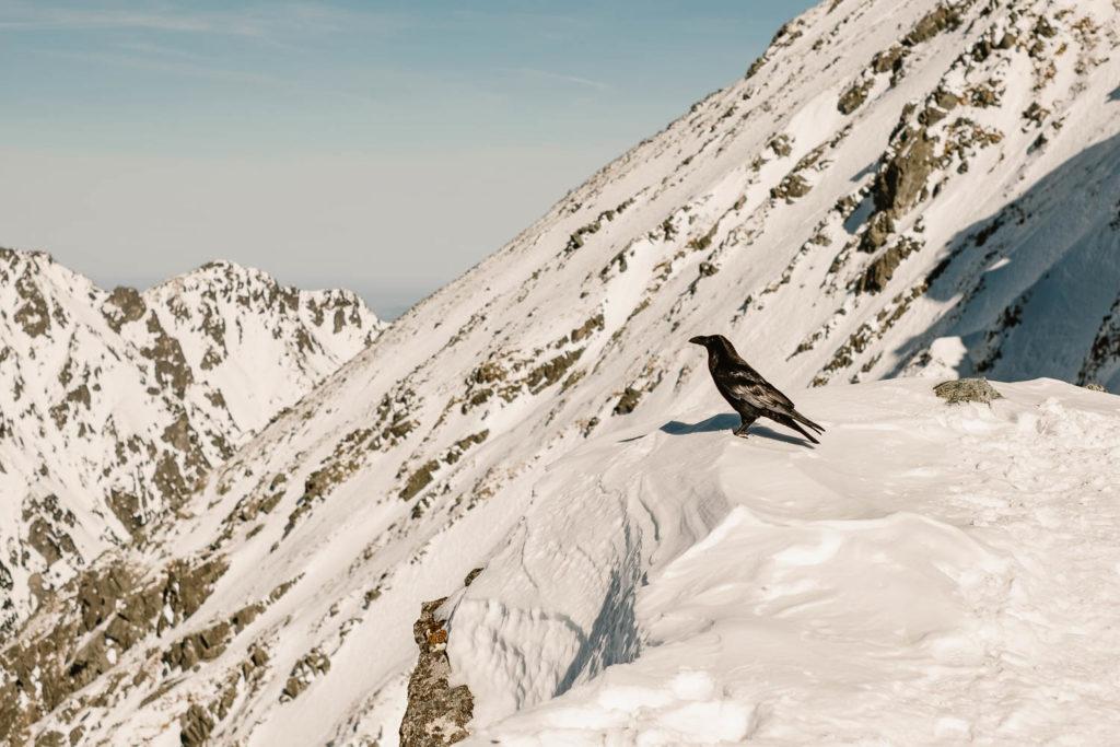 Olbrzymi kruk przyleciał i usiadł na Szpiglasowej Przełęczy.
